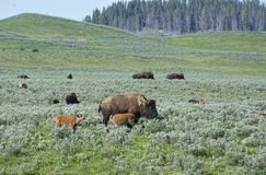 Buffalo herd on the move in Yellowstone. Royalty Free Stock Images