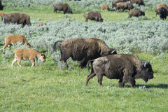 Buffalo herd on the move in Yellowstone. Royalty Free Stock Image