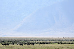 Buffalo Herd - Ngorongoro Crater, Tanzania, Africa Stock Images