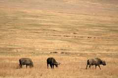 Buffalo Herd - Ngorongoro Crater, Tanzania, Africa Royalty Free Stock Image