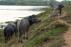 Buffalo herd. In the northeast of Thailand. Food shortage is pasture stock photo