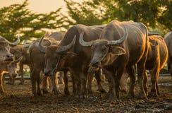 Buffalo herd. On paddy field stock photo