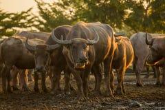 Buffalo herd. On paddy field stock photography