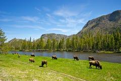 Buffalo Herd Ranges in Yellowstone. Small buffalo herd graze along a Rocky Mountain river royalty free stock photos