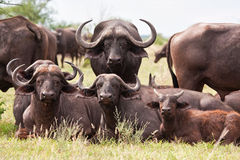 Buffalo herd resting on grass Stock Photography