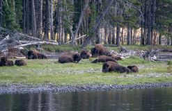 Buffalo herd by a river in Wyoming. A Buffalo herd grazes and relaxes by a river in Yellowstone National Park, Wyoming USA royalty free stock image