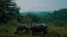 Buffalo herd at riverside in beautiful green Chiang Rai area