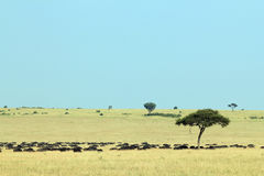 Buffalo Herd on Savannah. African Buffalo Herd Syncerus caffer, aka Cape Buffalo on the Savannah. Maasai Mara, Kenya royalty free stock image