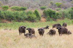 Buffalo herd. In southern african bush royalty free stock image