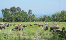 Buffalo herd standing in a field grasses. Rice field background royalty free stock photo