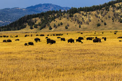 Buffalo Herd Sunset Jackson Hole. This image of a herd of buffalo grazing just before sunset was taken at Jackson Hoe, Wyoming.  The photograph was taken in late Royalty Free Stock Image