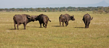 Buffalo Herd in Tanzania Royalty Free Stock Photos