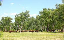 Buffalo herd in Theodore Roosevelt National Park. Amid the green trees of summmer royalty free stock image