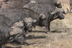 Buffalo herds. Buffalos forming up in a line Stock Photography