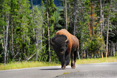 Buffalo in Highway Stock Image