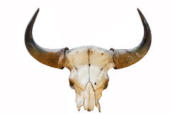 Buffalo horn on background isolated Royalty Free Stock Image
