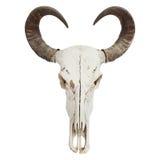 Buffalo horn isolated on white background Royalty Free Stock Images