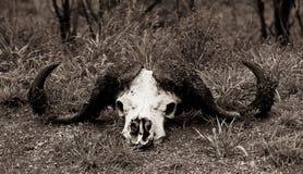 Buffalo horns lying on the ground Royalty Free Stock Photos