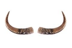 Buffalo horns on white. Royalty Free Stock Photos
