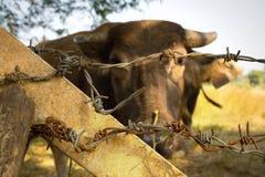 Buffalo imprisonment. Buffalo is imprisonment in the farm Stock Photos