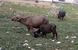 Buffalo stock images