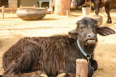 Buffalo in Indian village Royalty Free Stock Photography