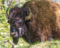 Buffalo in Indiana Fotografie Stock Libere da Diritti