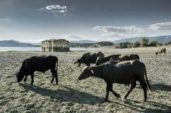 Buffalo intorno al villaggio abbandonato della chiesa di Zapalnya Immagini Stock