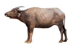 Buffalo isolata sulla Buffalo tailandese del fondo bianco sulla Buffalo bianca del fondo in Tailandia fotografie stock