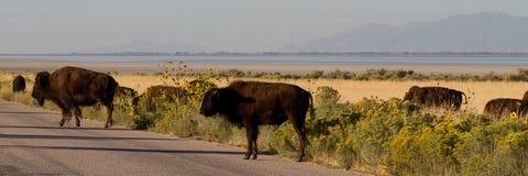 Buffalo Jam, American Bison Royalty Free Stock Images