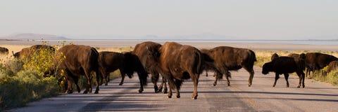 Buffalo Jam, American Bison Stock Image