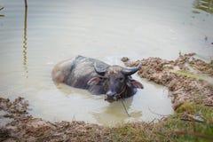 Buffalo jouant l'eau Photos libres de droits