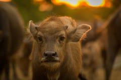 A buffalo juvenile. Looks at a lens Royalty Free Stock Photos