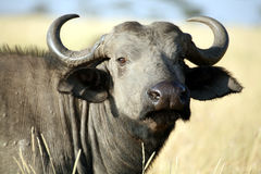 Buffalo (Kenya) Royalty Free Stock Photography