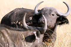 Buffalo (Kenya) Royalty Free Stock Photos