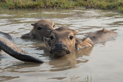 Buffalo Kratie province, Cambodia Stock Images