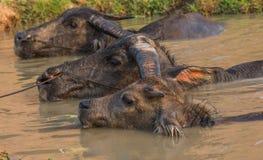 Buffalo Kratie province, Cambodia Royalty Free Stock Photos