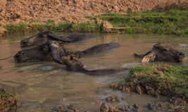 Buffalo Kratie province, Cambodia Royalty Free Stock Images