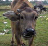Buffalo Kratie province, Cambodia Stock Photo