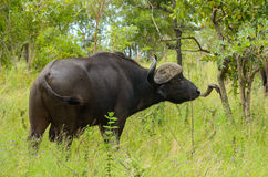 Buffalo in Kruger national park Stock Photography