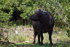 Buffalo in Kruger National Park Stock Images