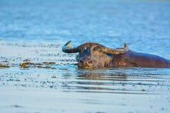 Buffalo in lago Fotografia Stock