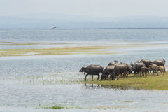 Buffalo in lago, Tailandia Immagine Stock