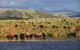 Buffalo landscape. A herd of buffalo cross the Lamar Valley river at sunset.  Yellowstone national park Stock Photos