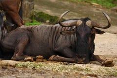 Buffalo Laying on the Ground Stock Image