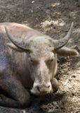 Buffalo lays on the ground Stock Image