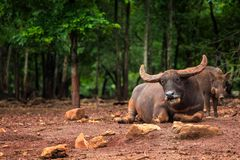 Buffalo lays on the mud Stock Photography