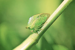 Buffalo Leafhopper. Close up of a green and gold buffalo leafhopper Royalty Free Stock Photo