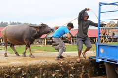 Buffalo led onto truck after being sold at market , Tanah Toraja, Indonesia Royalty Free Stock Image