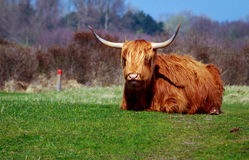 Buffalo a Lentevreugd vicino a Wassenaar Fotografie Stock Libere da Diritti